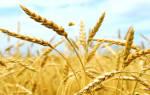 Видеть во сне пшеницу зерно. Зерно рассыпанное