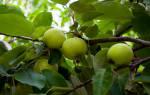 Видеть во сне деревья с яблоками. К чему увидеть во сне яблоню? Красные и зеленые плоды