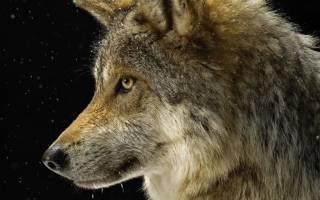 К чему снятся мертвые волки. Волки толкование сонника