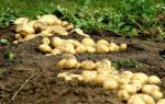 Садить картошку во сне к чему. Приснилось сажание картошки — трактовка сновидения сонникам