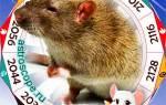 Что ждет деревянную крысу в году. Для мужчины – Крысы