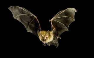 К чему могут сниться летучие мыши. Магия чисел