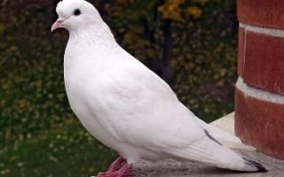 Что значит кормить домашних голубей во сне. К чему снится Кормить Голубей? Цвет и размер голубя