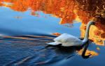 Приснился лебедь. Сонник: лебедь во сне