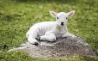 К чему снится много маленьких овечек. Сонник Ягненок: к чему снится Ягненок во сне — толкование снов