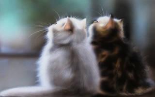 К чему снится кошка котится. Кошка родила двух котят