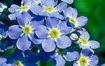 Что означают незабудки на языке цветов. Цветы символика и значение