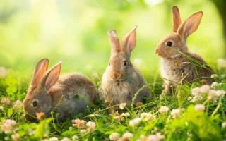 К чему сняться кролики. К чему снятся кролики