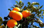Приснился большой апельсин на дереве. К чему снятся апельсины: сонник