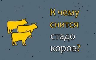 Сонник стадо коров. К чему снится стадо коров и быков? Сонник — Стадо