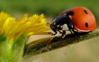 Почему насекомое называется божья коровка. Почему божьи коровки называются божьими