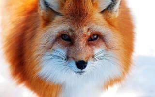 Приснилось что укусила лиса. Рыжая лиса — предвестник предательства: Толкование снов для мужчин и женщин