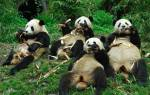 Что символизирует бамбук. Бамбук: как ухаживать за комнатным растением