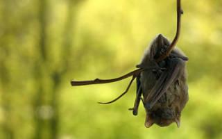 Во сне летучая мышь укусила. Летучая мышь сонник