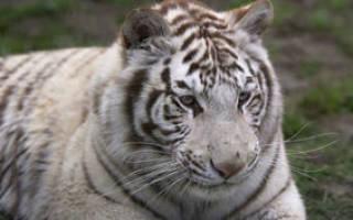 Тигр сонник. Тигр во сне: злобный хищник или игривый котёнок