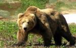 Сонник толкование убить медведя. К чему снится убитый медведь? С субботы на воскресенье