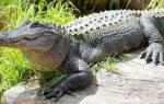 Во сне видеть крокодилов плавающих в воде. К чему снятся крокодилы в воде: толкования по сонникам