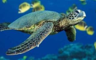К чему снится черепаха в руках. Значение сна: черепаха