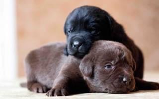 Чему снятся новорожденные щенки собаки. К чему снятся щенки маленькие породистые много