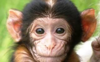 Сонник обезьяна маленькая нападает. Черная обезьяна