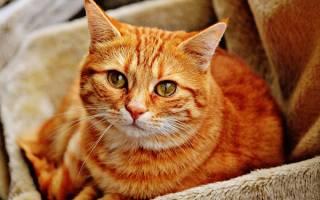 К чему снится рыжая больная кошка. Рыжий, рыжий…полосатый! Как разгадать сновидения с рыжими котами? Интриги, финансовые сложности