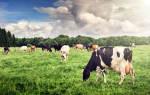К чему снится доить корову обсуждения. К чему снится доить корову? Сонник Евгения Цветкова