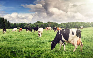 К чему снится упасть чорних коров. Большая и ухоженная корова