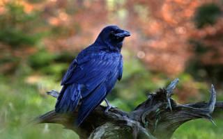 Что значит если снится ворон. Приснилась ворона – что это может значить? Где можно видеть птицу