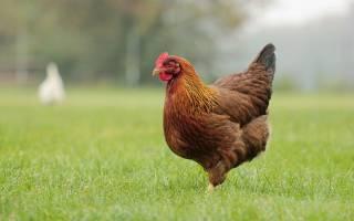 Что значит если приснилась курица. К чему снится есть курицу? Сонник современной женщины Курица
