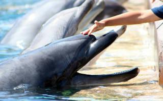 К чему снится гладить дельфина женщине. К чему снятся дельфины женщине? Сонник дельфины