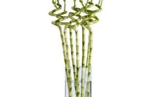 Бамбук: изящное растение с сакральной силой. Размещение растения по фен шуй
