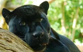 К чему снится пантера черная мужчине. Грация и изящество: к чему снится черная пантера? Что думают сонники: Миллера, Ванги и других
