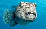 Снится связка рыбы. К чему снится рыба? К чему снится выбирать рыбу