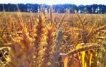 К чему снится поле пшеницы с колосьями. Сонник: поле пшеницы