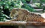 Во сне нападал черный ягуар. Нападение ягуара