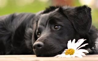 К чему снится очень большая собака девушке. К чему снится черная собака? Сонник большая черная собака