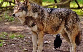К чему снится волк, волки? Современный сонник Если снится Волк. К чему снится волк по соннику Цветкова