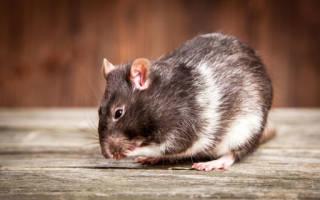 Что значит если снится крыса серая. Если снится крыса серая