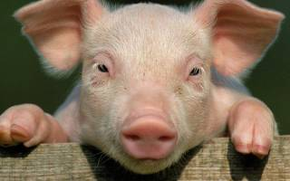Сонник красная свинья. Жирная свинья
