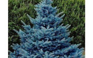 Голубая ель на участке — плохая или хорошая примета? Можно ли сажать ель во дворе дома (приметы).