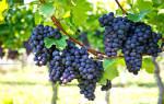 К чему снится гроздь зеленого винограда. Приснился виноград – что это может значить