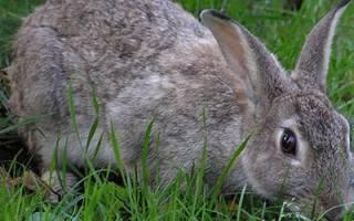 Сонник большой серый кролик. К чему снится серый кролик: толкование и значение