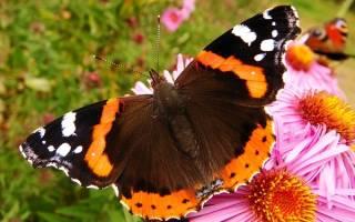 Бабочки во сне к чему. К чему снятся бабочки