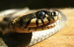 Сонник мне приснилась змея. Сонник: к чему снится Змея