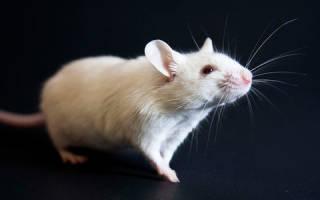 К чему снится белая мышь девушке. К чему снится белая мышь? Как растолковать это видение? Сонник для всей семьи