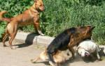 Сонник две собаки дерутся. К чему снятся дерущиеся собаки