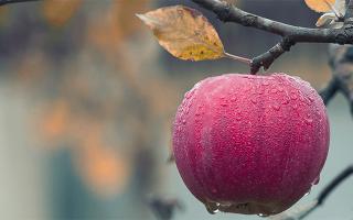 Приснился сон яблоки. К чему снятся яблоки женщине и мужчине: основные толкования сновидения