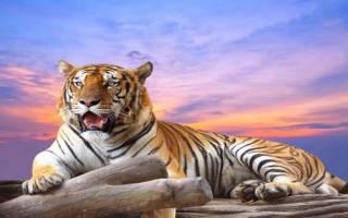 Сонник к чему снится тигренок. Приснился тигр: толкование сна