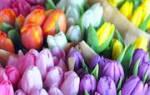 Разноцветные тюльпаны с клубнями сон. К чему снятся тюльпаны
