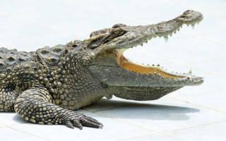 Сон про крокодила в воде. К чему снится крокодил в воде? К чему снится крокодил